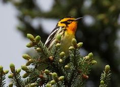 Search Results for Blackburnian Warbler | All About Birds