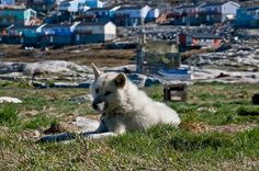 Greenland dog in Ilulissat - One of the maaany Greenland dogs in beautiful Ilulissat.