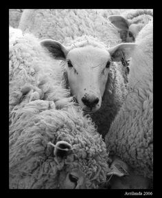 Sheep-photgraphed by Gina L