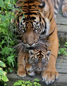 Protective tiger mom with her tiger cub Tiger Pictures, Animal Pictures, Nature Animals, Animals And Pets, Wild Animals, Beautiful Cats, Animals Beautiful, Beautiful Pictures, Big Cats