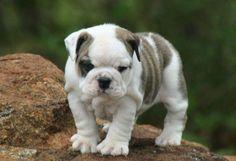 English bulldog puppies for sale in washington state - Yakaz
