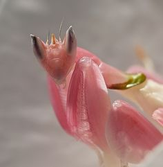 Orchid Mantis Praying mantis, Orchid mantis, Cool insects