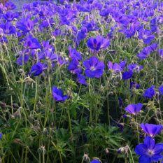 geranium-vivace_orion-1-6731