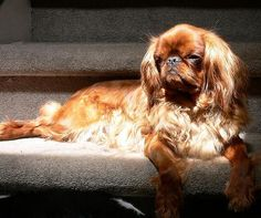 english toy spaniel dog