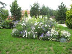Roses du jardin Chêneland: Création d'un massif en bleu et blanc.