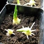 Growing Your Own Ginger - ThePrepperProject.com