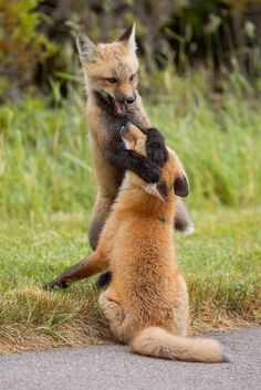 Red Fox Cubs by Brittany Crossman - National Geographic Your Shot