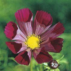 Cosmos bipinnatus 'Pied Piper Red'   Thompson & Morgan