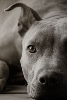 Portrait of a Staffie