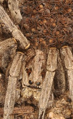 Wolf Spider carrying her young. From Jacobo Martin on Flickr http://www.flickr.com/photos/51708886@N03/6355533401/