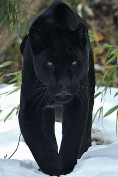 Black Jaguar by Josef Gelernter https://www.flickr.com/photos/67891827@N05/