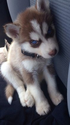 My Husky Puppy, Sgt. Pepper - A heart for animals - Puppies Cute Husky Puppies, My Husky, Siberian Husky Puppies, Husky Puppy, Huskies Puppies, Siberian Huskies, Cute Little Animals, Cute Funny Animals, Baby Animals Pictures
