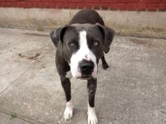 TO BE DESTROYED - MONDAY - 6/2/14 Brooklyn Center   My name is SEVEN. My Animal ID # is A0999862. I am a male blue and white american staff mix. The shelter thinks I am about 1 YEAR 7 MONTHS old.  I came in the shelter as a OWNER SUR on 05/14/2014 from NY 11423, owner surrender reason stated was BITEANIMAL. I came in with Group/Litter #K14-177439