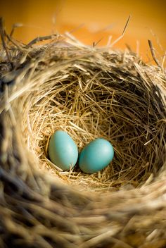 robin nest http://www.flickr.com/photos/37063359@N00/2724543008/