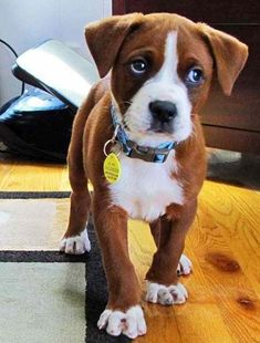 Boxer pup; perfection via @KaufmannsPuppy