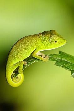 green; Baby Chameleon by Chris Miller