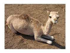 Guess what day it its! The day that I decided I like baby camels...