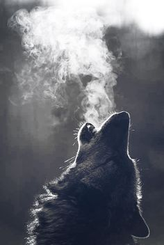 wolf dog breath howl beautiful real Image by Whitney Wolf Photos, Wolf Pictures, Beautiful Wolves, Animals Beautiful, Wolf Artwork, Wolf Painting, Wolf Spirit Animal, Fantasy Wolf, Wolf Tattoo Design