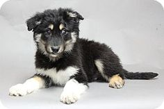 Bloomington, MN - Newfoundland Mix. Meet Dylan a Puppy for Adoption.