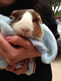 awwww i love guinea pigs!
