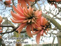 Erythrina caffra, Erythrina constantiana, Erythrina insignis, South African Coral tree, Kaffirboom Garden Catalogs, Plant Catalogs, Exotic Plants, Tropical Plants, Beautiful Flowers, Coral, Trees, African, Painting