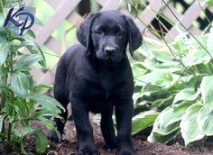 Glitter – Labrador Retriever – Black Puppy I love the name glitter! Black Puppy, Black Lab Puppies, Dogs And Puppies, Cute Labrador Puppies, Puppy Finder, Pet Shampoo, Buy A Dog, Black Labrador Retriever, Black Labs