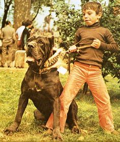 Neapolitan Mastiff  Italy 1970's. Here you have the Neo's raison d'etre - to be the huge, scary dog that a boy can just barely control.