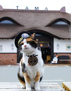 See, this is one of many reasons why Japan is so awesome: stationmasters have smart, sporty cats! Who wear medallions and hats!  わかやま電鐵貴志川線 たま電車|和歌山観光案内所