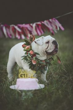 Dog Pawty, English Buldog wearing floral wreath and pink cake, on location dog portraits ©Portraits of Blessings French Bulldog Adult, French Bulldog Meme, French Bulldog Harness, White Bulldog, Gotcha Day, Dog Park, Dog Portraits, Animal Photography, Best Dogs