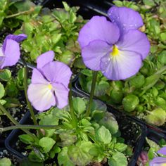 Viola cornuta 'Jupiter' : Mid mauve flowers, gracefully held on long stems.  A very hardy variety. (EG 2013)