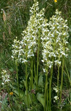 Platanthera bifolia Fruit Flowers, Orchid Flowers, Orchids, Wild Orchid, Exotic Plants, Gardens, Herbs, Plant, Outdoor Gardens