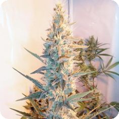 Female Seeds Outdoor Grapefruit has all the vigorous appeal of its predecessor with the advantage of being optimised for outdoor growing. It thrives in Mediterranean climates and those conducive to growing crops like wine grapes and olives. The conditions can be simulated indoors with comparable results.  http://www.cannabis-seeds-store.co.uk/feminised-seeds/female-seeds/outdoor-grapefruit-feminised-seeds/prod_315.html