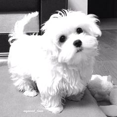 @mysweet_luna loves playtime! Follow @maltese_dog_love for more via @maltesenation Love to tag? Please do! - #maltese #maltesedoglove #maltesers #maltese101 #maltesedog #maltesepuppy #malteseofficial #malteselover #malteselovers #malteseofinstagram #malteser #dog #dogs #puppy #dogsofinstagram #instadog #dogstagram #ilovemydog #dogoftheday #lovedogs #instagramdogs #doglife #doglove #dogsofinstgram