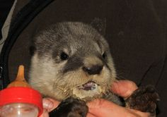 The otter finishing her milk and very messy. Otter Pup, List Of Animals, Otters, Centre, Wildlife, Milk, Otter