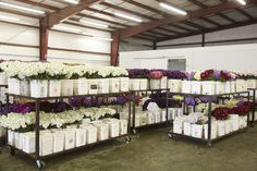 Stock from the harvest ready for shipping at the packing house at Joseph & Sons. California Location, Family Flowers, Delphinium, Flower Farm, Bridesmaid Dresses, Wedding Dresses, Joseph, Harvest, Sons