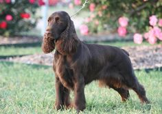 Field Spaniel | As with several other spaniel breeds, the Field Spaniel is utilized in hunting, which takes advantage of its own keen sense of smell and retrieving abilities.