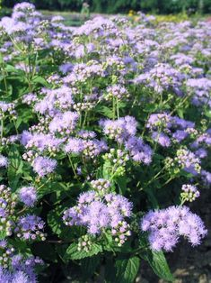 Eupatorium Wayside -- Bluestone Perennials Geranium Rozanne, Mostly Sunny, Hollyhock, Early Fall, Farm Yard, Blue Accents, Late Summer, Summer Colors, Bright Green