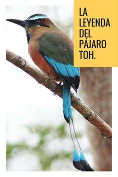 El pájaro Toh era uno de los pájaros reales que vivían en el reino de las aves de la tierra maya, en tiempos remotos.