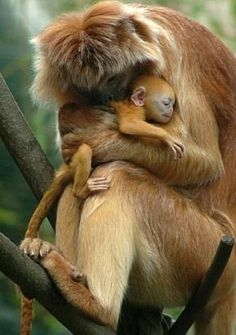 A new-born Javan lutung (Trachypithecus auratus), also known as Javan langur, is embraced by Smirre