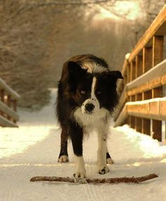 Border Collie intense!