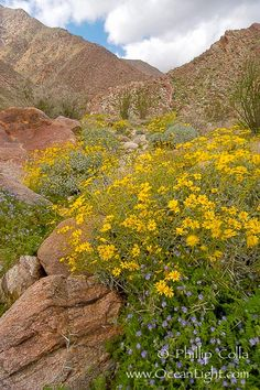 Brittlebush (yellow) and wild heliotrope (blue) bloom in spring, Palm Canyon. Anza-Borrego Desert State Park, Anza Borrego, California, USA