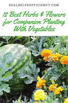 Companion Gardening 12 best herbs and flowers for companion planting with vegetables - great article! - Find out which herbs and flowers to companion plant alongside which vegetables to promote healthy growth and high yield and to deter pests. Container Gardening Vegetables, Planting Vegetables, Organic Vegetables, Growing Vegetables, Home Vegetable Garden, Herb Garden, Culture D'herbes, Gemüseanbau In Kübeln, Companion Gardening