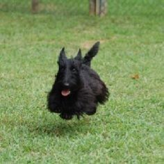 The truth about owning a scottie. :)
