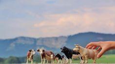 Ferientage im französischen Jura: Familienurlaub im Rhythmus des Milchviehs. | Foto: Anselm Bußhoff