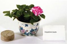 Impatiens - Ceramic Pot Grow Kit by WWP Resources. $3.99. Everything you need to grow your own garden on the window sill or counter top! Just follow the instructions included in the kit, you don't have to be an expert anyone can become a gardener. Our grow kits make a great gift for everyone from those new to gardening to the experienced and passionate gardener. These plants are easy to grow and there is no dirt, just a peat pellet. Plants add depth and the beau...