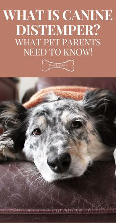 What Is Canine Distemper? What Pet Parents Need To Know! | Dog Health | Dog Health Care | Dog Health Tips, Dog Health Care, Health Advice, Health And Wellness, Health Fitness, Healthy Tips, Healthy Recipes, Dog Training Tips, Happy Dogs