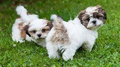 Love ShihTzu puppies!
