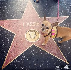 chihuahua bailey visits the hollywood walk of fame
