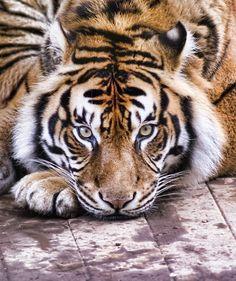 Sumatran Tiger by Steve Wilson by DeeDeeBean Vida Animal, Mundo Animal, Animals And Pets, Baby Animals, Cute Animals, Wild Animals, Serval, Beautiful Cats, Animals Beautiful