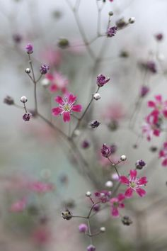 Gypsophila elegans 'Kermesina' Seeds £1.65 from Chiltern Seeds - Chiltern Seeds Secure Online Seed Catalogue and Shop